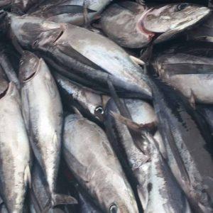BC Albacore Tuna